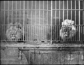 caged lions